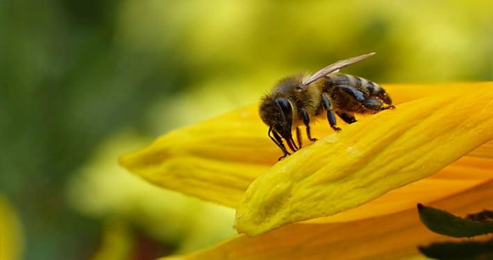 Symbolbild: Biene (Foto: Oldiefan/pixabay)